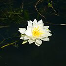 White Water Lily (Nymphaea odorata) by Mike Oxley