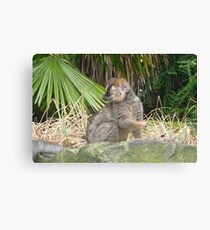 Edinburgh Zoo: Sclater's Lemur Canvas Print