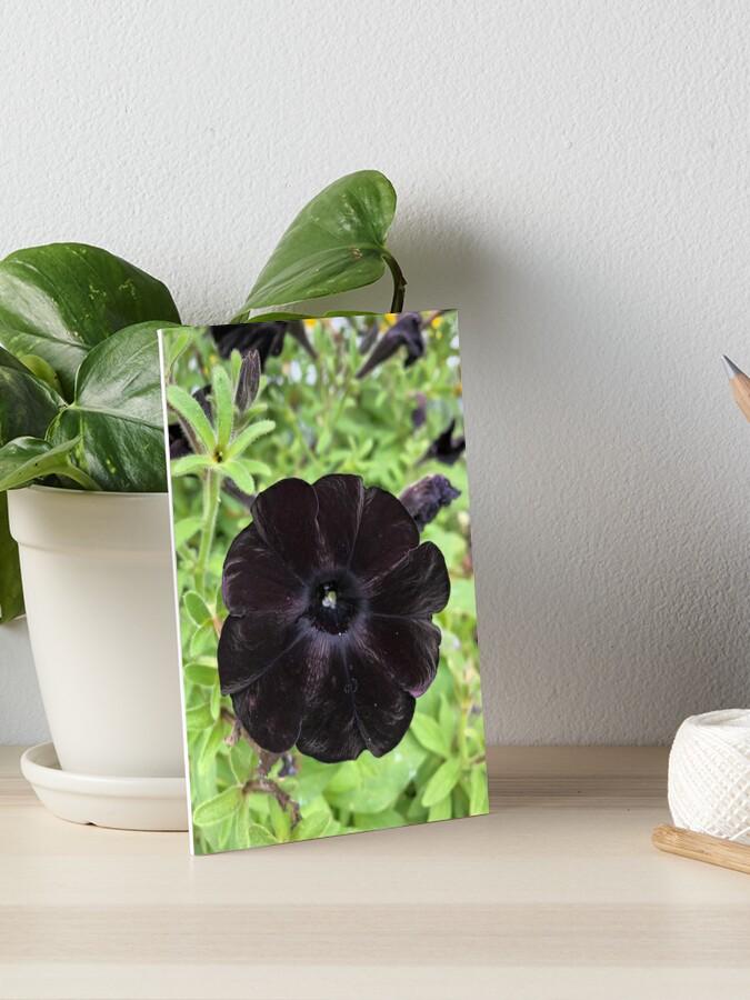 Black Petunia Art Board Print By Politefacade Redbubble