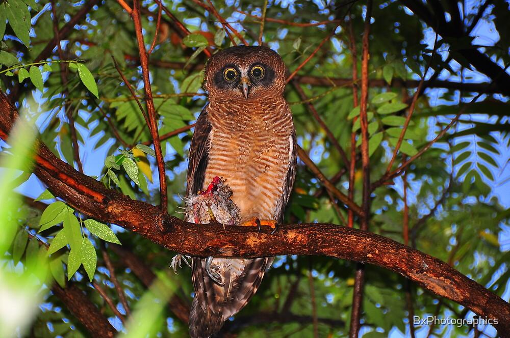 Rufous owl - photo#43