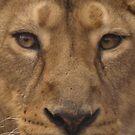 Asiatic Lioness by Franco De Luca Calce