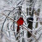 Cardinal by junebug076