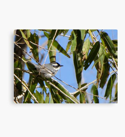 Black-throated Gray Warbler ~ Male Canvas Print