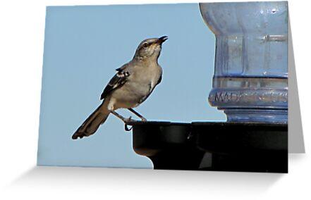Northern Mockingbird by Kimberly Chadwick