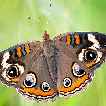 Buckeye Butterfly by Miracles