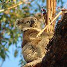 Koala by samatar