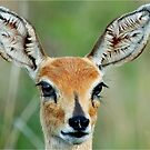UP CLOSE - STEENBOK – Raphicerus campestris by Magriet Meintjes