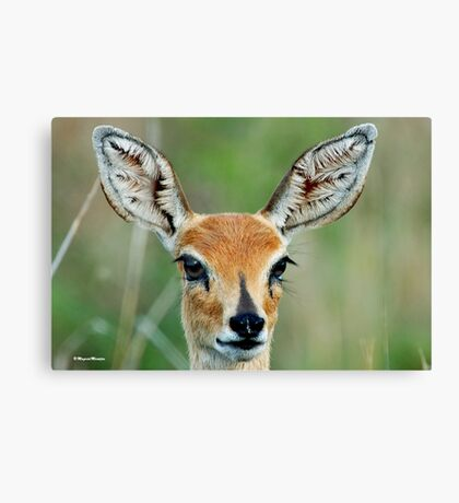 UP CLOSE - STEENBOK – Raphicerus campestris Canvas Print