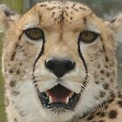 Young Male Cheetah by Franco De Luca Calce