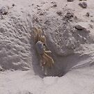Ghost Crab On Ocracoke Island by DianaTaylor/ JacksonDunes