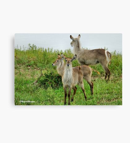 THE WATERBUCK – Kobus ellipsiprymnus Canvas Print