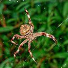 New Golden Orb spider in my garden by BigAndRed