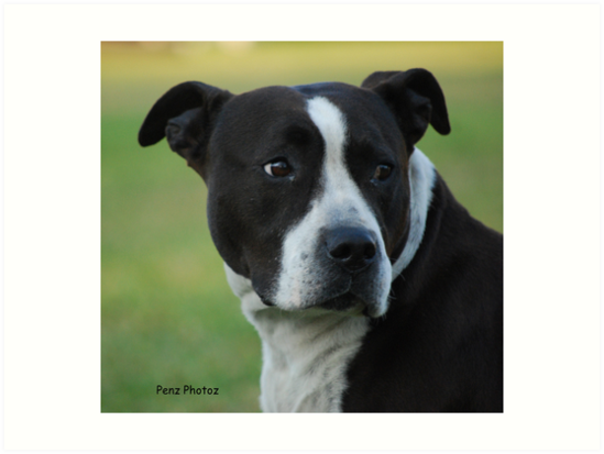 """Z Force American Staffordshire Terrier """"American Staffor..."""
