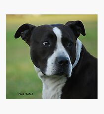 American Staffordshire Bull Terrier Photographic Print