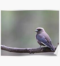 Dusky Woodswallow Poster