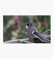 Grey Fantail Photographic Print