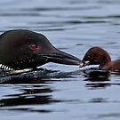Loon and chick - Feeding time - Little Sebago Lake, Maine by Steven David Johnson