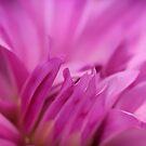 Dreamy Pink Dahlia by Karen Stahlros