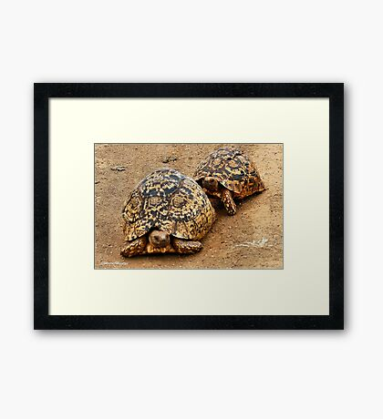 FOLLOWING HER - THE  MOUNTAIN - LEOPARD TORTOISE – Geochelone pardalis Framed Print