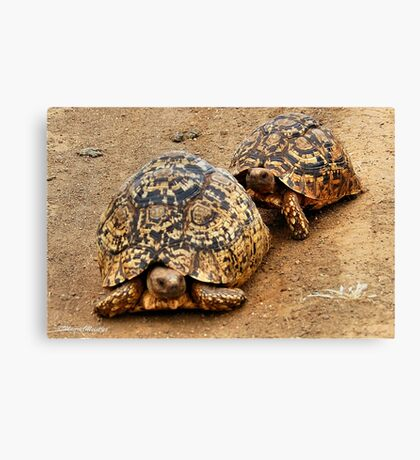 FOLLOWING HER - THE  MOUNTAIN - LEOPARD TORTOISE – Geochelone pardalis Canvas Print