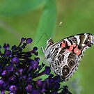 Pretty Lady on a Butterfly Bush by Bonnie Robert