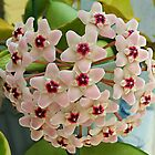 Hoya Carnosa by Scott Mitchell