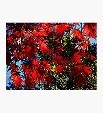 Maple In Bloom Photographic Print