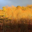 Sundrenched Trees by vette