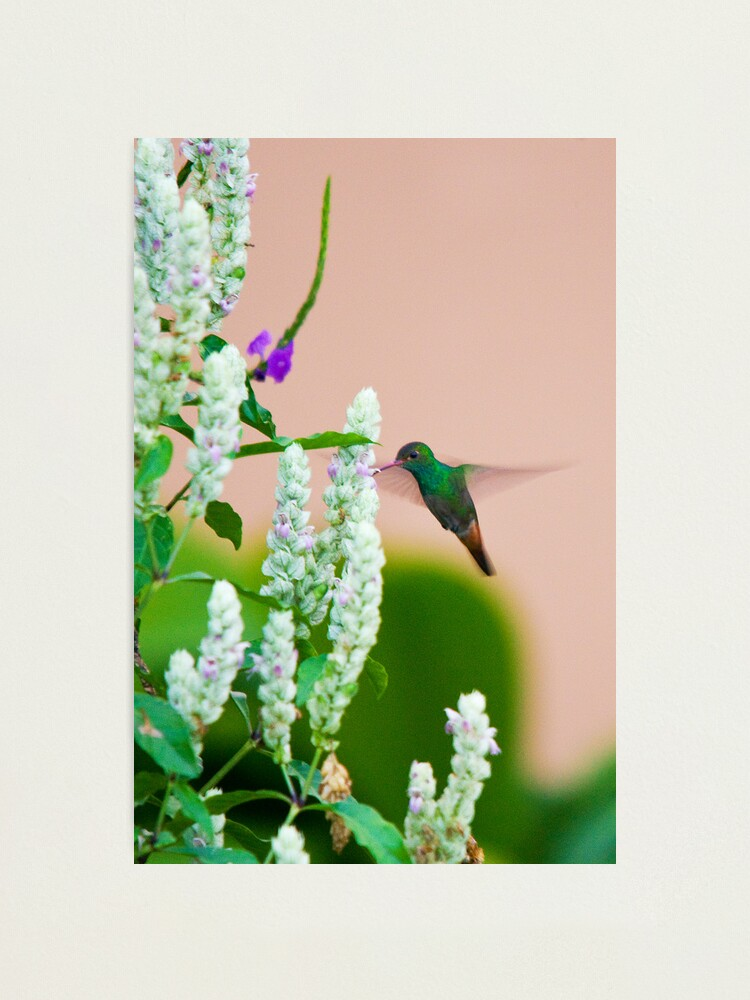 Alternate view of Hummingbird (vertical) In Costa Rica Photographic Print