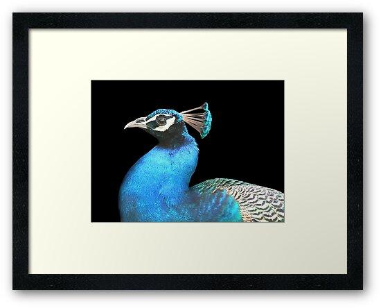 Indian Peacock by snehit