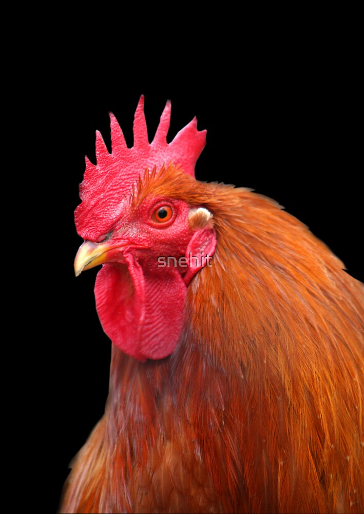 Rooster by snehit