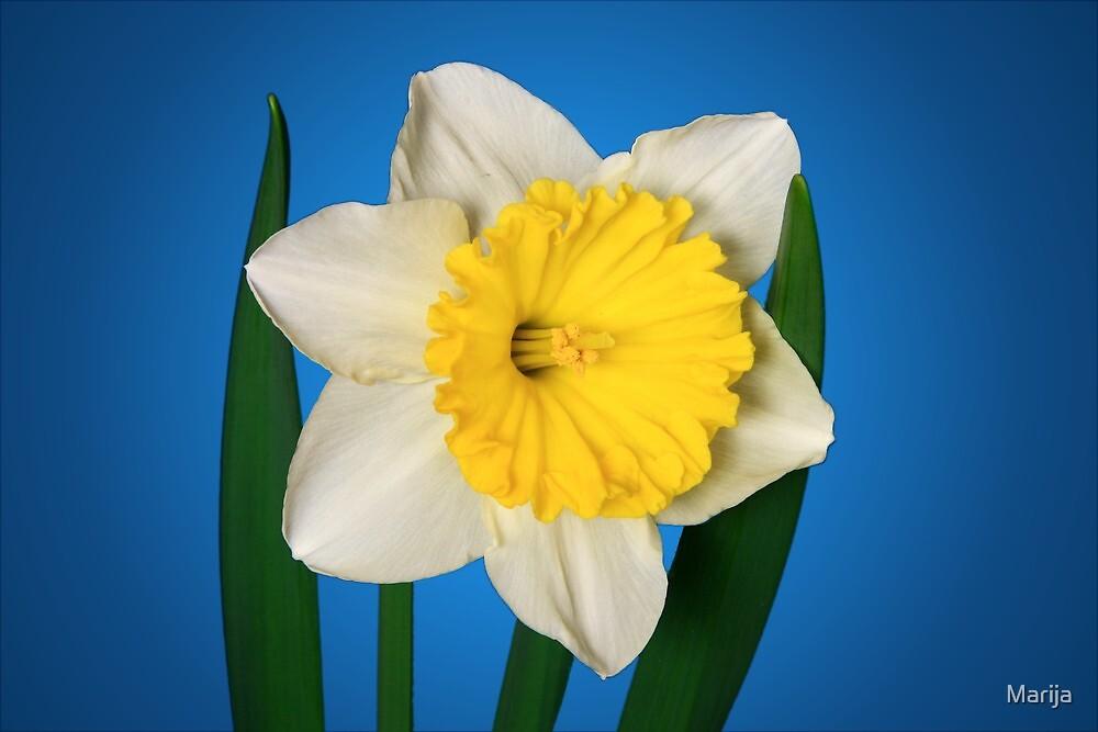 Daffodil Delight by Marija