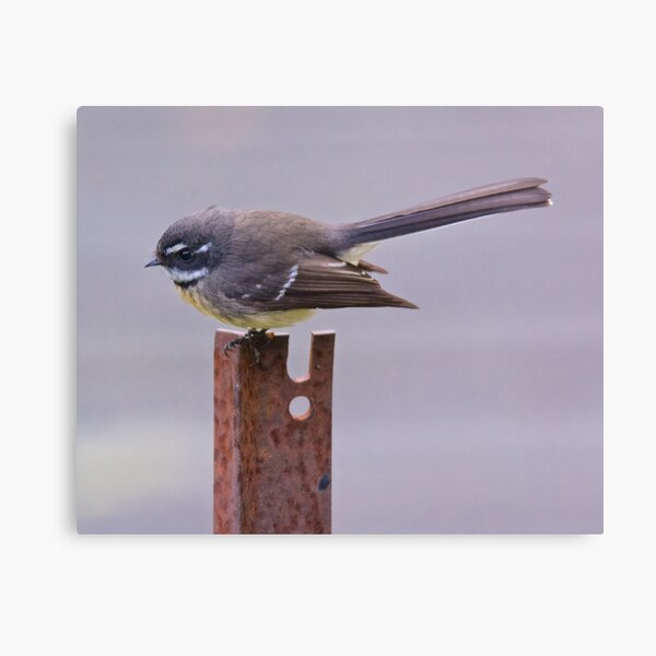 FANTAIL ~ Grey Fantail UBk2hZwb by David Irwin Canvas Print