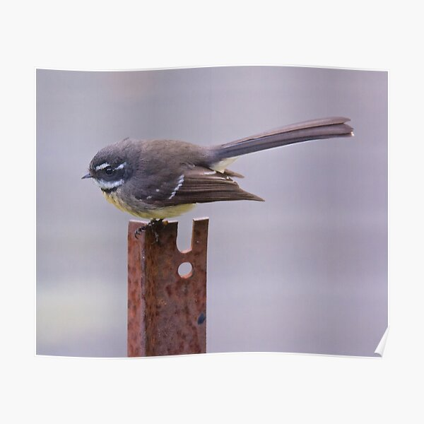 FANTAIL ~ Grey Fantail by David Irwin Poster