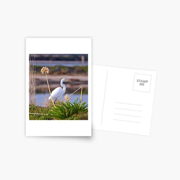 WADER ~ Great Egret by David Irwin Postcard