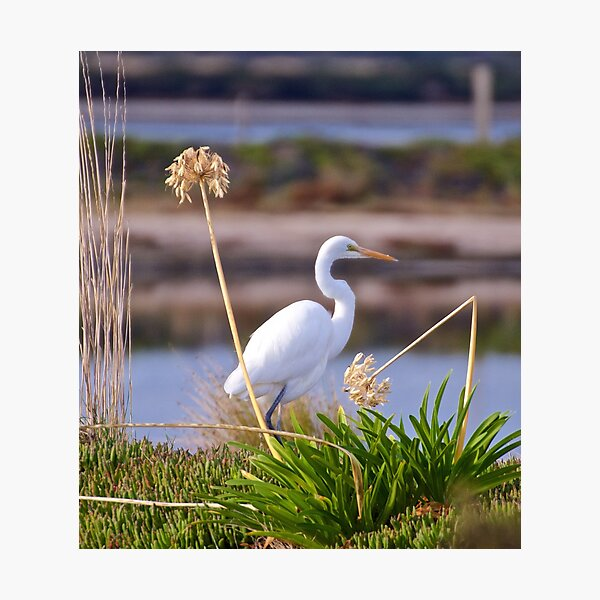 WADER ~ Great Egret 2Y6C9FVX by David Irwin Photographic Print