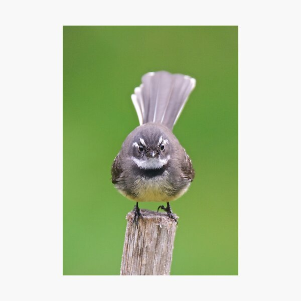 FANTAIL ~ Grey Fantail BwVecWos by David Irwin Photographic Print