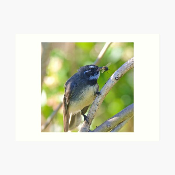 FANTAIL ~ Grey Fantail 8Nv562tr by David Irwin Art Print