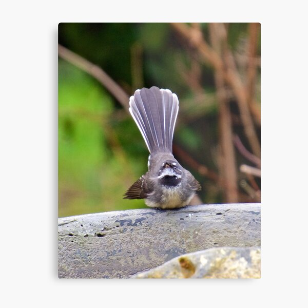 FANTAIL ~ Grey Fantail Nr4Q5nUi by David Irwin Metal Print