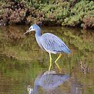 WADER ~ White-faced Heron by David Irwin by tasmanianartist