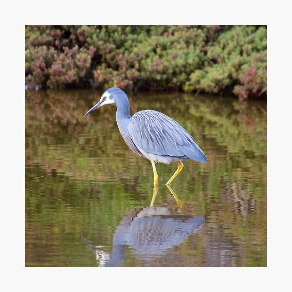 WADER ~ White-faced Heron 388HEJT8 by David Irwin Photographic Print