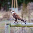 RAPTOR ~ Brown Falcon by David Irwin by tasmanianartist
