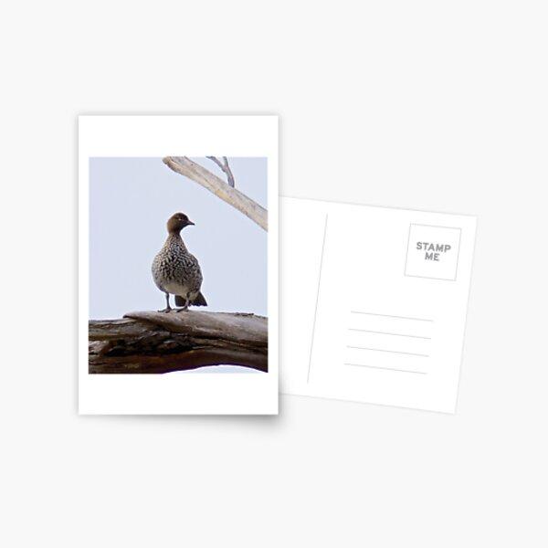 WATERFOWL ~ Australian Wood Duck 3CEKVJS8 by David Irwin Postcard