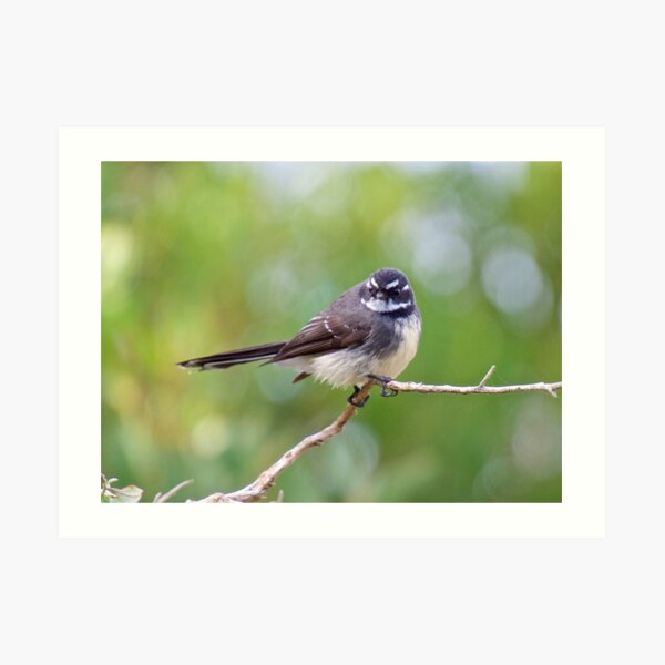 FANTAIL  ~ Grey Fantail by David Irwin Art Print