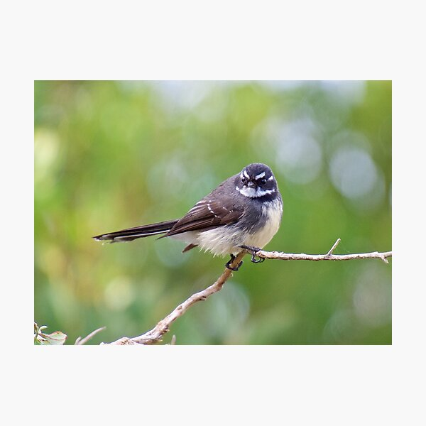 FANTAIL  ~ Grey Fantail AeBGdu2s by David Irwin Photographic Print