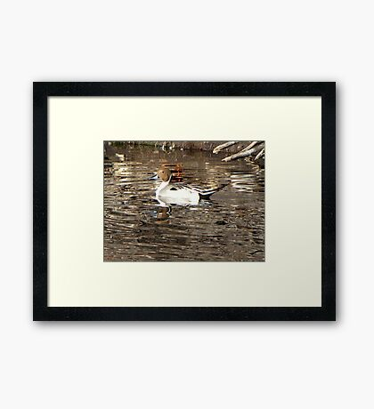 Northern Pintail ~ Male Framed Print