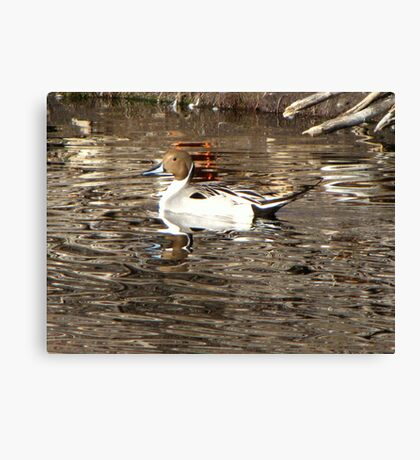 Northern Pintail ~ Male Canvas Print