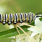 Monarch Caterpillar by Penny Smith