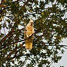 White Cockatoo in the first rays of a sunrise by peterhau