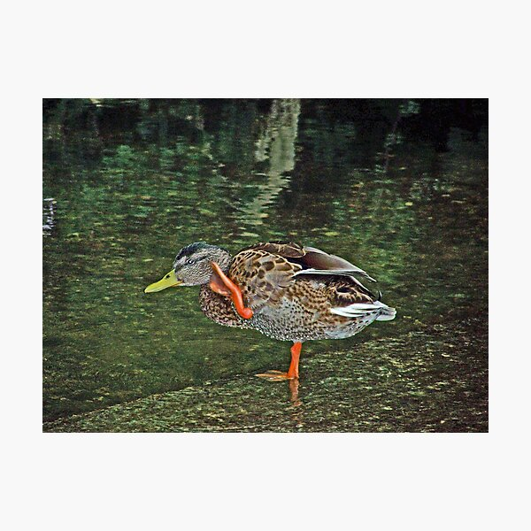 """""""What d'you say, Duck?"""" Photographic Print"""